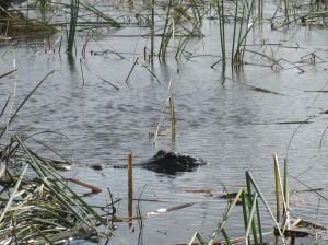 We saw several alligators.